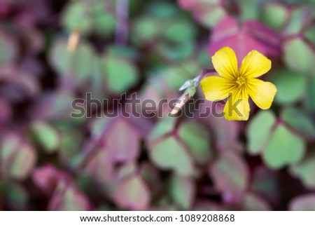 Yellow oxalis clover flower green purple stock photo edit now yellow oxalis clover flower with green and purple leaves in the background mightylinksfo