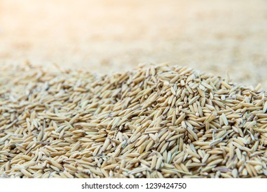 Yellow paddy jasmine rice to dry closed up for background,A selective focus of rice organic
