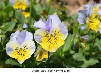Yellow and pale blue pansies/violas