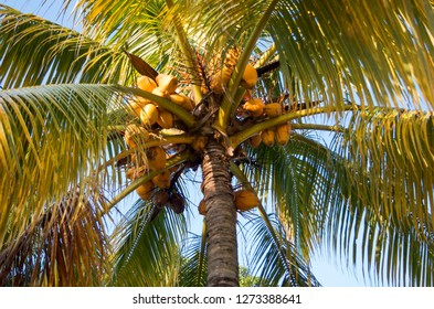 Yellow palm or yellow coconut on tree. Selective focus.