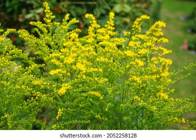Yellow panicles of Solidago flowers in August. Solidago canadensis, known as Canada goldenrod or Canadian goldenrod, is an herbaceous perennial plant of the family Asteraceae. Berlin, Germany
