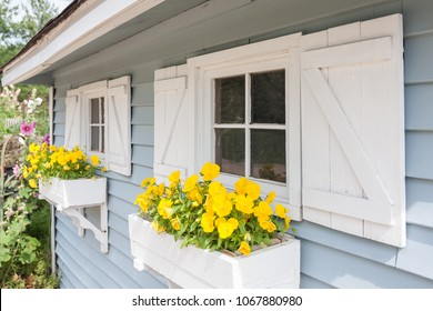 Yellow pansies growing in a white window box on a blue gardening shed with white shutters.