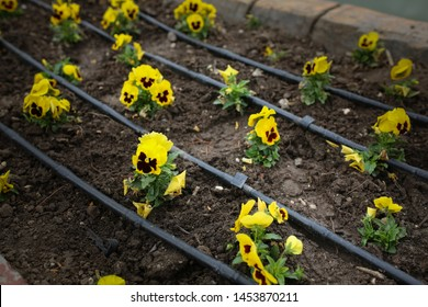 yellow pansy flowers on a flowerbed in the park, drip irrigation. Irrigation system with black hoses on a flower bed with flowers