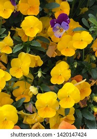 Yellow pansy flowers  - viola blossom - viola tricolor