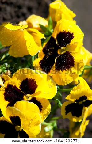 Yellow Pansy Plants Pansies Flowers Spring Stock Photo Edit Now