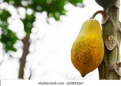 Yellow papaya fruit on the tree. sky background.
