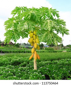 yellow papaya on plant