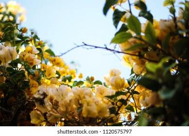 yellow paper flowers bougainvillea