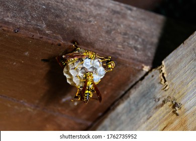 Yellow paper wasp (Polistes versicolor) is a social wasp that is common in Curacao. They are building a nest which is a single comb.