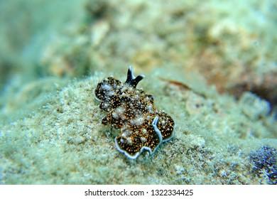 Yellow Papillae Flatworm in Okinawa, Japan