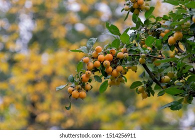Yellow paradise apples close-up. Paradise apples hang on a tree branch. Apple tree plum. Golden Chinese Apple fruit closeup. Malus prunifolia