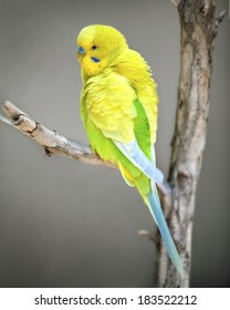 Yellow parakeet on a branch, budgerigar