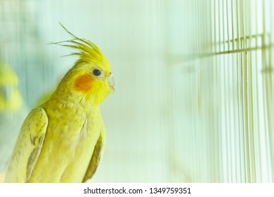 Yellow parrot Corella sitting swinging in a cage next to other birds