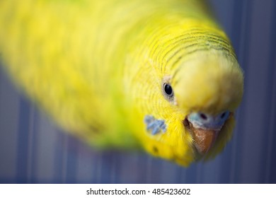 Yellow parrot hanging and looking down