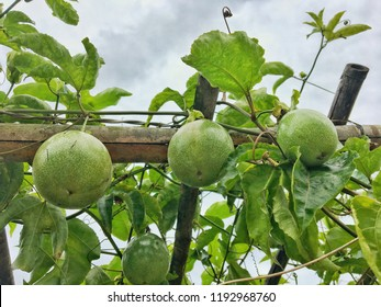 Yellow Passionfruit , Granadilla, parcha ,Yellow maracuya ,LILIKOI (PASSIFLORA EDULIS var. FLAVICARPA) is a climbing vine that is same species as the purple passion fruit in Thailand agriculture filed