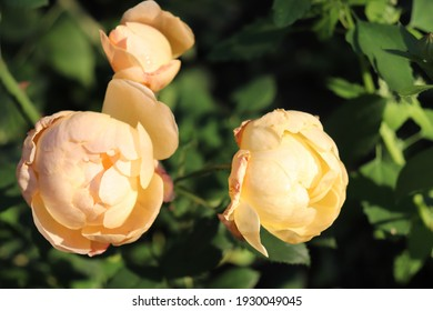 Yellow and peach color English Rose Roald Dahl flowers in a garden in August 2020.Idea for postcards, greetings, invitations, posters, wedding and Birthday decoration, background