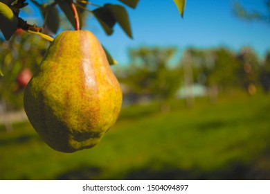 yellow pear hanging in tree organic fruit orchard