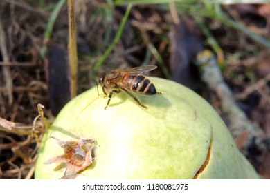 A yellow pear in a meadow with many wasps