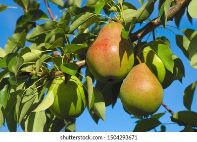 yellow pears hanging in tree organic red fruits orchard