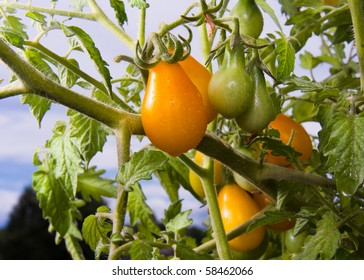Yellow Pear-shaped Tomatoes growing on a plant.