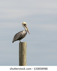 A yellow pelican perches on a piling in Murrell's Inlet, South Carolina