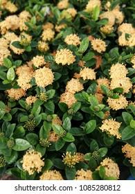 yellow pentas lanceolata or star flowers