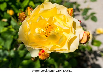Yellow peony with blurred green background