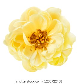 Yellow peony flower isolated on white.  Top view.
