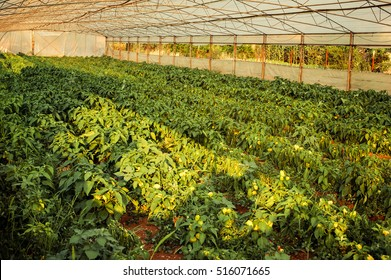 Yellow peppers in a greenhouse on domestic farm