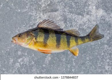 Yellow Perch on Ice
