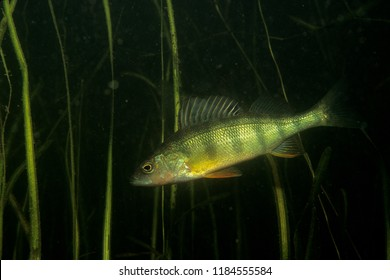 Yellow Perch underwater in the St.Lawrence