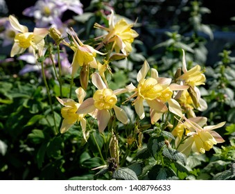 Yellow perennial garden flowers with green leaves behind