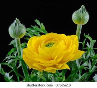 """Yellow Persian Buttercup"" (Ranunculus)"