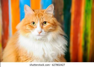 Yellow Persian cat