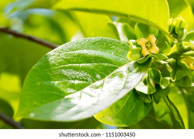 Yellow persimmon flower and fresh green leaf in late spring