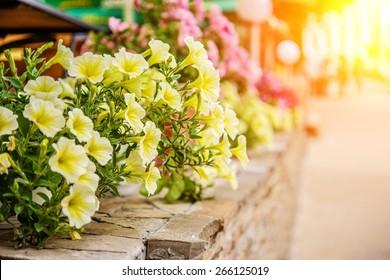 Yellow petunia flowers in summer garden.