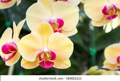 Yellow phalaenopsis orchid flower
