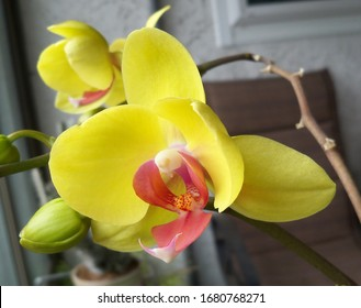 Yellow Phalaenopsis Orchids first blooms