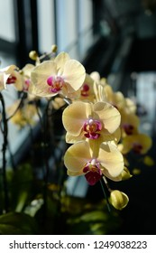 Yellow phalaenopsis with red lip
