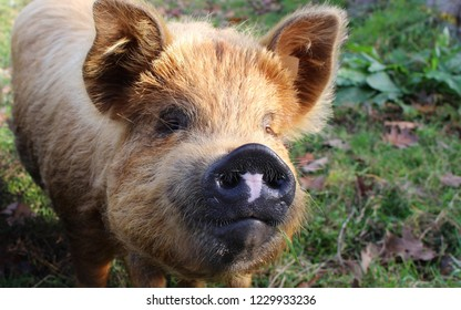 Yellow pig looks into the camera