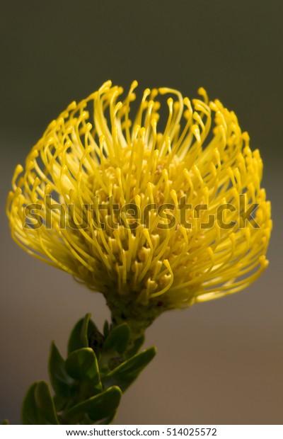 Yellow Pincushion Protea Stock Photo Edit Now 514025572