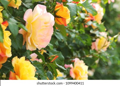 yellow and pink climbing roses, floral background