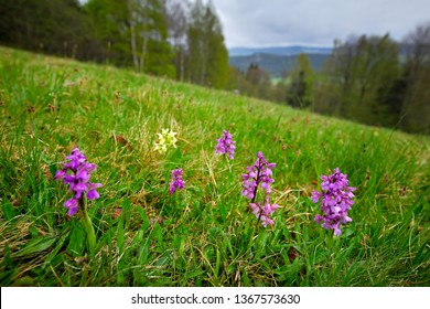 Yellow and pink Elder-flowered Orchid, Dactylorhiza sambucina, European terrestrial wild orchid in nature habitat. Nature spring scene in Europe. MEadow with flowers and trees on hill, Sumava, Czech