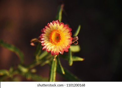 Yellow and pink flower.