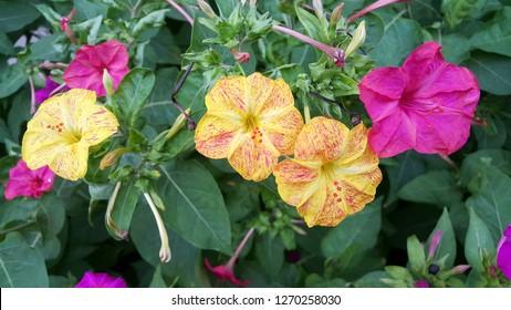 yellow and pink flowering Mirabilis Jalapa