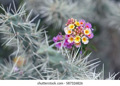 Yellow and pink lantana flowers in a spiny cactus