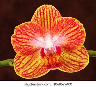 yellow pink and red phalaenopsis orchid flower on brown background
