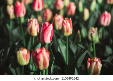 Yellow and Pink Tulips in Field, Amsterdam, Holland, The Netherlands