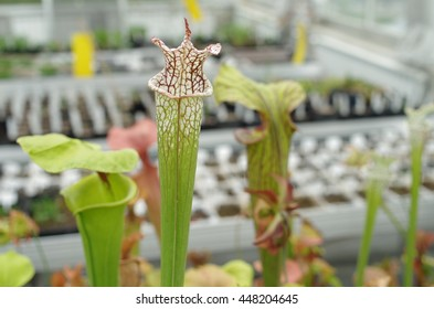 The yellow pitcherplant, Sarracenia flava and white pitcher plant, Sarracenia leucophylla, endemic, endangered flowers, greenhouse for saving the gene pool, carnivorous plant, science, Europe, EU