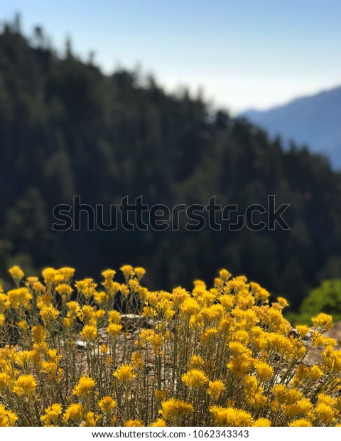 Yellow plants on the mountain Baldy
